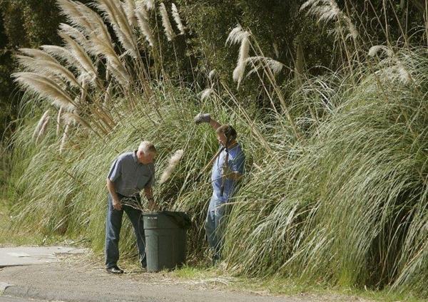 Pampasgras Anbau und Pflege Rückschnitt