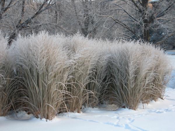 Pampasgras Anbau und Pflege im Winter