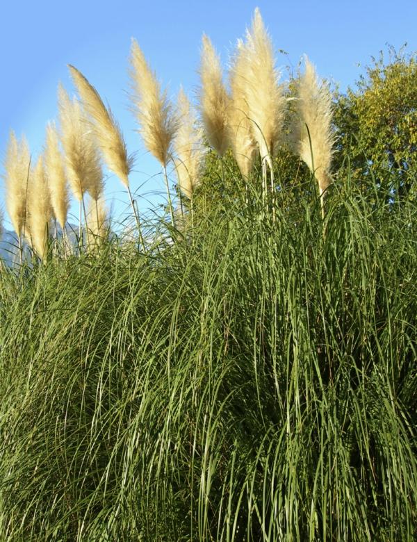 Pampasgras wie wann und warum schneiden