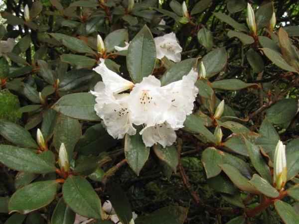 Pflanzen Rhodonden weiße Sorten