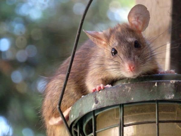 Ratten im Außenbereich Tipps Krankheiten übertragen