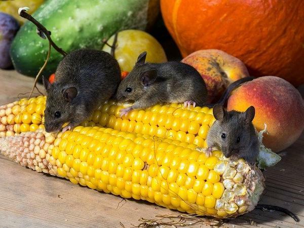 Ratten im Außenbereich loswerden Tipps korn Obst und Gemüse fressen