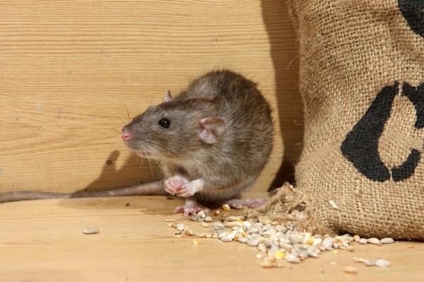 Ratten im Außenbereich loswerden Tipps