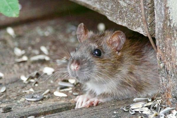 Ratten im Freien Krankheiten übertragen