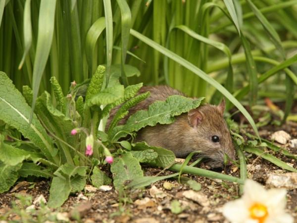 Ratten im Garten Anzeichen Schädlinge