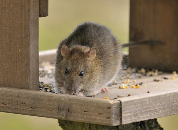 Ratten im Garten Futter Versteckmöglichkeiten