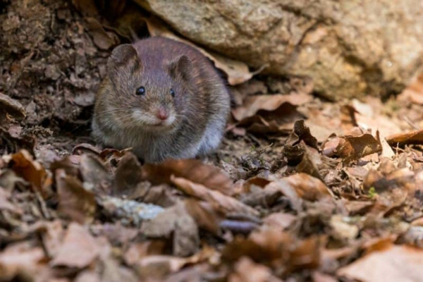 Ratten im Garten Herbstblätter Versteck