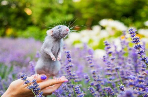Ratten im Garten Lavendel hält die Ratten fern