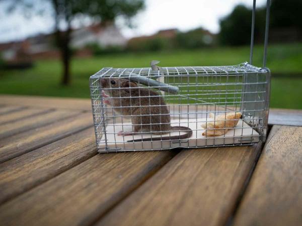 Ratten im Garten Lebendfallen Nagetiere