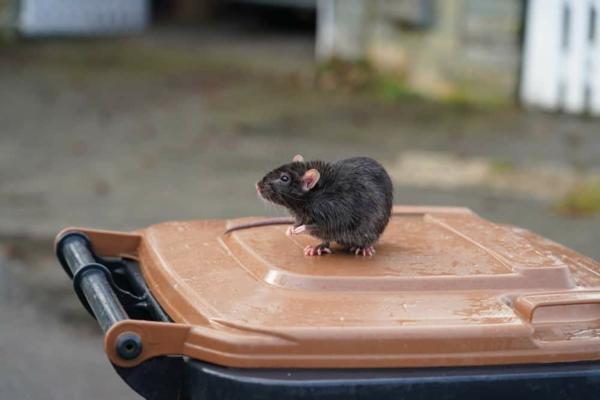 Ratten im Garten Mülleimerzu machen