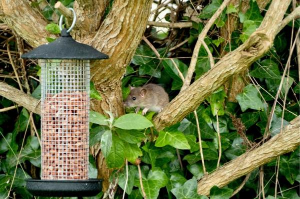 Ratten im Garten Vogelfutter wegmachen