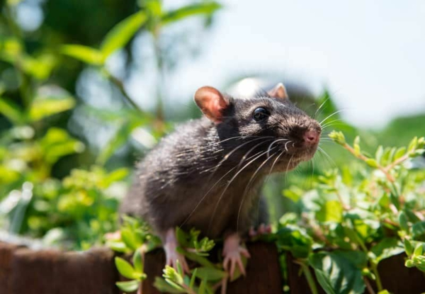 Ratten im Garten Wissenswertes und Tipps
