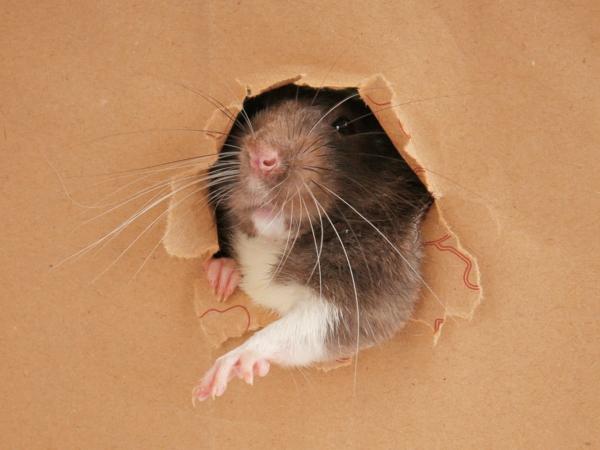 Ratten im Garten was tun