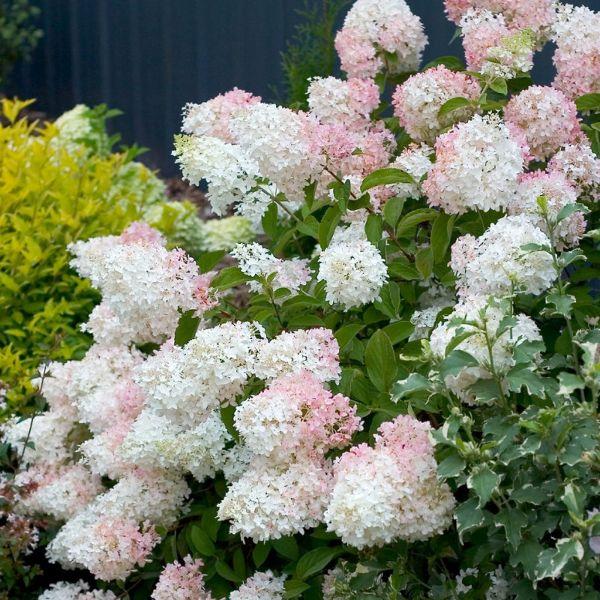 Plantas excelentes de hortênsia Rhispen
