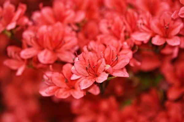 Rhodondendron schneiden neue Gartentrends