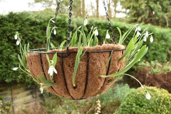 Schneeglocken als Hängepflanzen Pflanzenampel