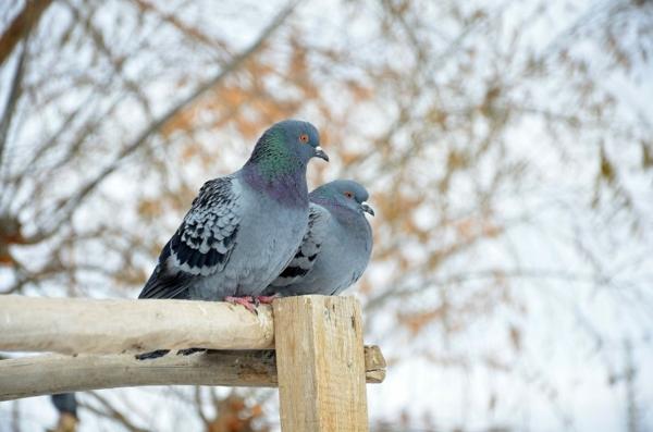 Tauben Verjagungsmittel 6 Ideen