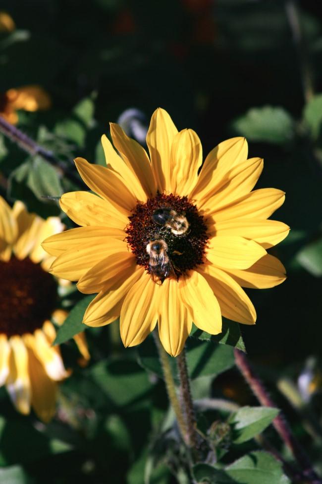 Top 10 bienenfreundliche Herbstblumen für Garten und Balkon bienen retten einfach gemacht