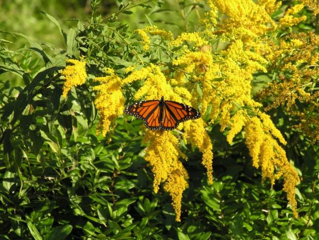 Top 10 bienenfreundliche Herbstblumen für Garten und Balkon gelbe goldrute hübsch