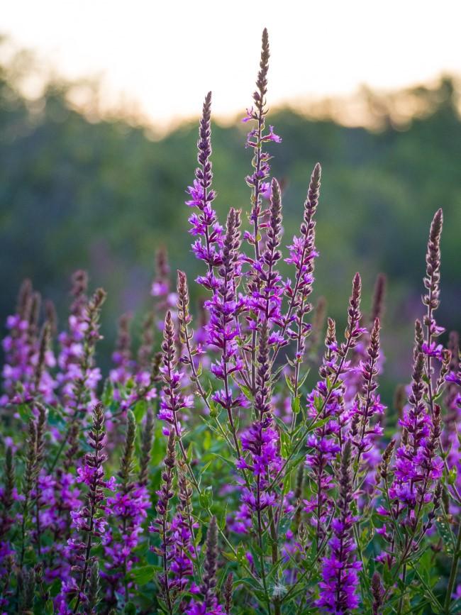 Top 10 bienenfreundliche Herbstblumen für Garten und Balkon gewöhnlicher blutweiderich