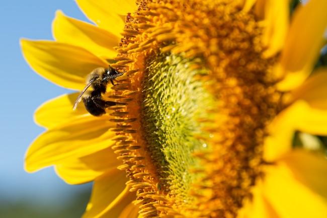 Top 10 bienenfreundliche Herbstblumen für Garten und Balkon klassische sonnenblume