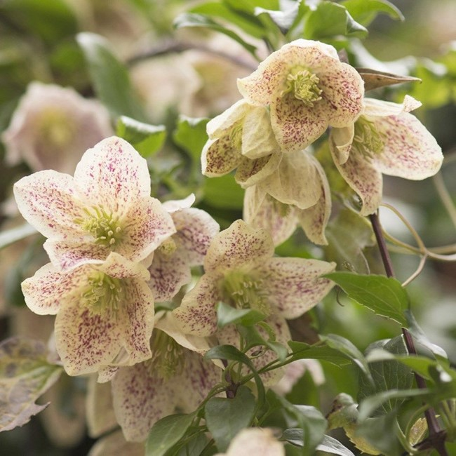 Top 10 bienenfreundliche Herbstblumen für Garten und Balkon macchien waldrebe kletterpflanze