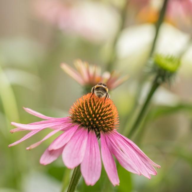 Top 10 bienenfreundliche Herbstblumen für Garten und Balkon purpur sonnenhut heilpflanze
