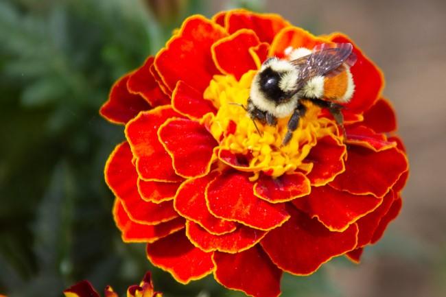Top 10 bienenfreundliche Herbstblumen für Garten und Balkon ringelblume heilpflanze zierlich