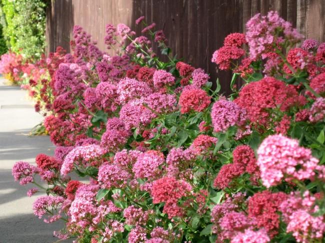 Top 10 bienenfreundliche Herbstblumen für Garten und Balkon rote spornblume herbst