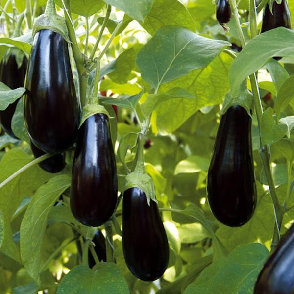 Was wird im September gepflanzt - 10 Gemüsesorten für Ihren Herbstgarten Auberginen