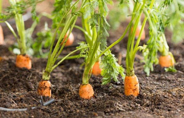 Was wird im September gepflanzt - 10 Gemüsesorten für Ihren Herbstgarten Karotten