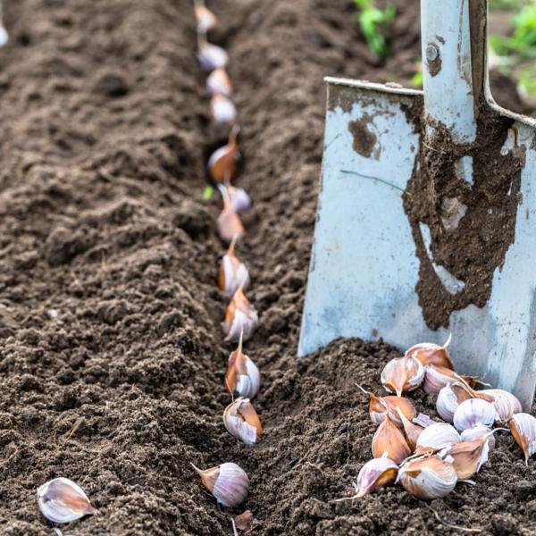 Was wird im September gepflanzt - 10 Gemüsesorten für Ihren Herbstgarten Knoblauch