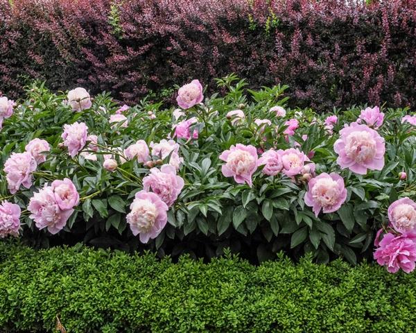 Was wird im September gepflanzt - 10 Gemüsesorten für Ihren Herbstgarten Pfingstenrose