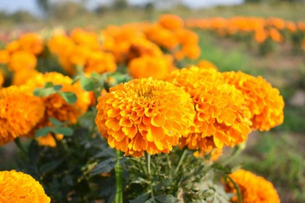 Was wird im September gepflanzt - 10 Gemüsesorten für Ihren Herbstgarten Ringelblumen
