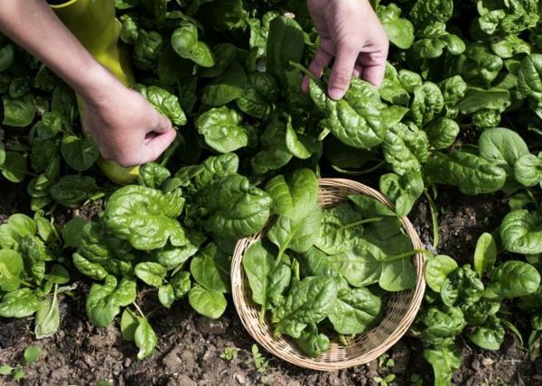 Was wird im September gepflanzt - 10 Gemüsesorten für Ihren Herbstgarten Spinat