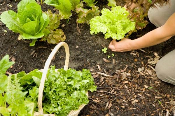 Woman picking lettuce growing in community garden