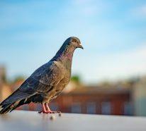 Wie kann man Tauben verjagen? – 6 effektive Methoden dafür
