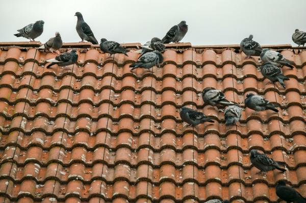Wie kann man Tauben verjagen Tauben auf dem Dach