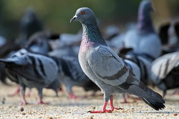 Wie kann man Tauben verjagen Tauben in der Stadt