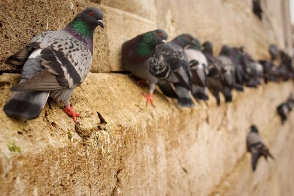 Wie kann man Tauben verjagen Taubenkot Stadtgebäude Kot