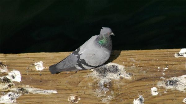 Wie kann man Tauben verjagen Taubenkot Stadtleben