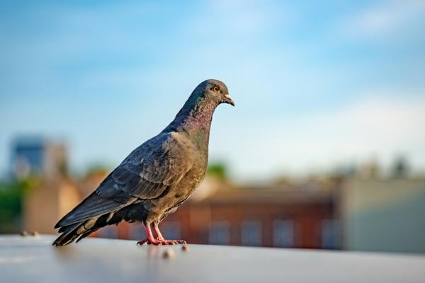 Wie kann man Tauben verjagen