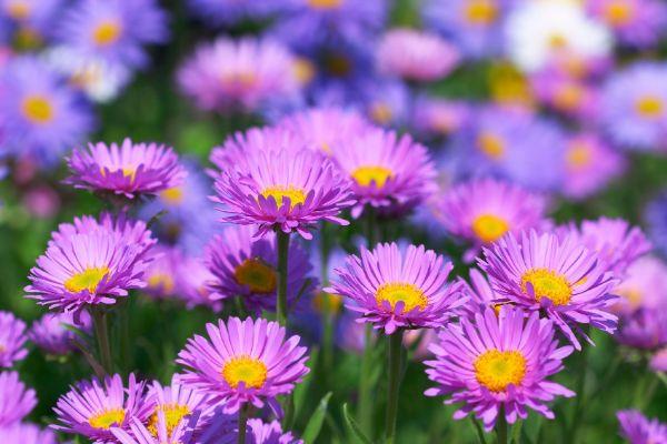 aster pflanzenampel schöne Lila Farbe