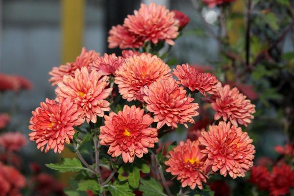 balkonblumen herbst chrysanthemen