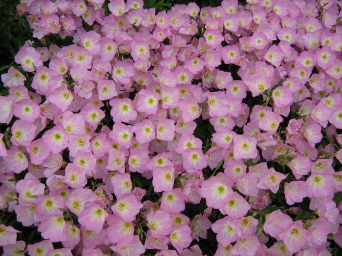 bodendecker die den ganzen sommer blühen rosa nachtkerze
