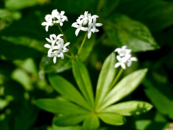 bodendecker die den ganzen sommer blühen waldmeister