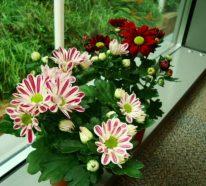 Chrysanthemen im Topf – Herbst-Chrysanthemen auch zu Hause genießen
