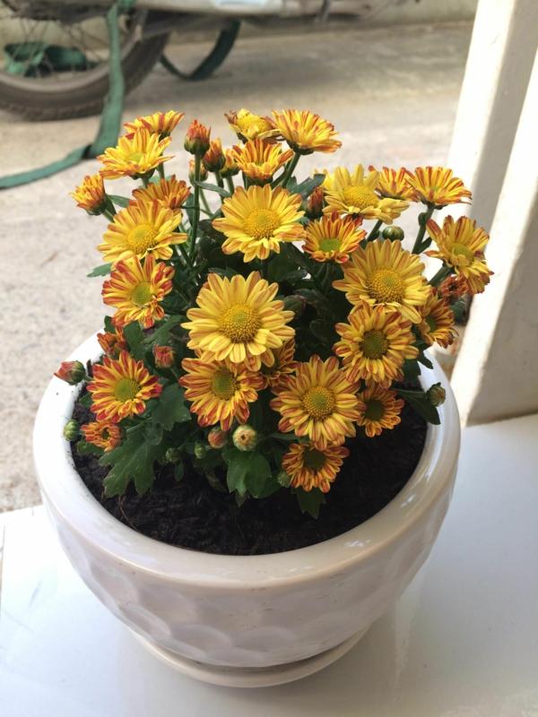 chrysanthemen im topf verschiedene blütenformen farben