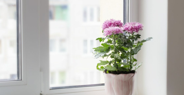 chrysanthemen im topf zimmerpflanzen richtig pflegen lange genießen