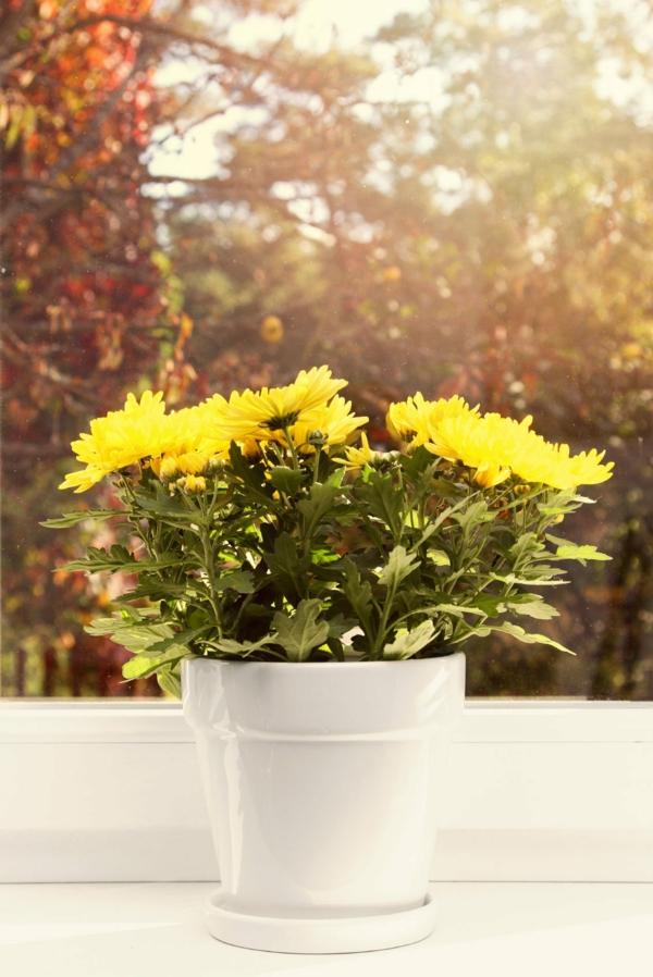 chrysanthemen im topf zimmerpflanzen tipps pflege